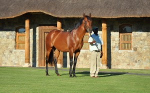 Traffic Guard, a son of More Than Ready at Summerhill Stud.