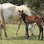 Thunderous Belinda with her newborn Noble Tune colt.