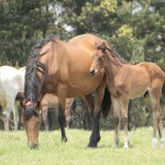 Dark Eyed Beauty with her Noble Tune colt, the dam of Awesome Beauty and Flying Fellow.