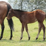 Colt out of Silvano mare Triandra, from the family of Kochka.