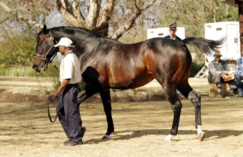 The magnificent Toreador at Bush Hill Stud in 2016, an asset to breeding in KZN. Image: Candiese Marnewick