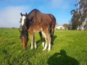 Piemonte Stud-bred Capetown Noir filly out of Plush by Fort Wood.