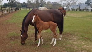 A flashy Linngari foal out of Ice Pageant at Summerview Stud.
