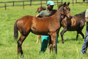 Noble Tune - Royal Gait by Jallad filly.