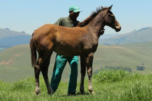 Noble Tune - Summer To Remember by Dynasty filly.