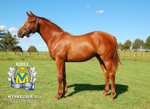 Wynkelder as a yearling.