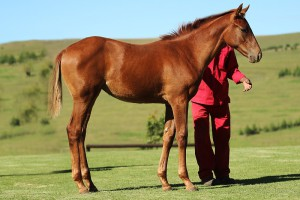 Visionaire - Countess Kinsky by Kahal. Filly a half-sister to Gr1 placed Beckedorf.