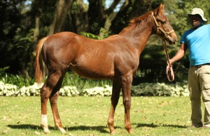 Soft Falling Rain - Varlet by Var. Dam 5-time winner, Gr3 placed. Female line of Private Collection, Lady Marion and Largo Lad.