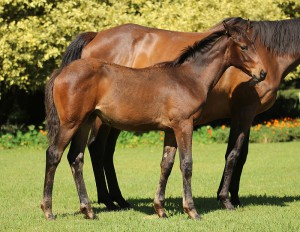 Crusade - Sahara by Mogok. Half-brother to Listed winner Matador Man. Dam mulitple Stakes Placed 4-time winner.