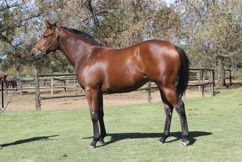 Celestina pictured as a yearling prior to being offered at the Nationals, bred and consigned by Piemonte Stud. Image: John Lewis