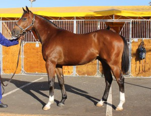 Lot 194, DON JOSE, by TOREADOR who is a strong racy colt out of an imported grand daughter of Storm Cat