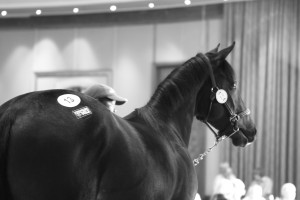 Registered KZN-Breds At The Sibaya KZN Yearling Sale