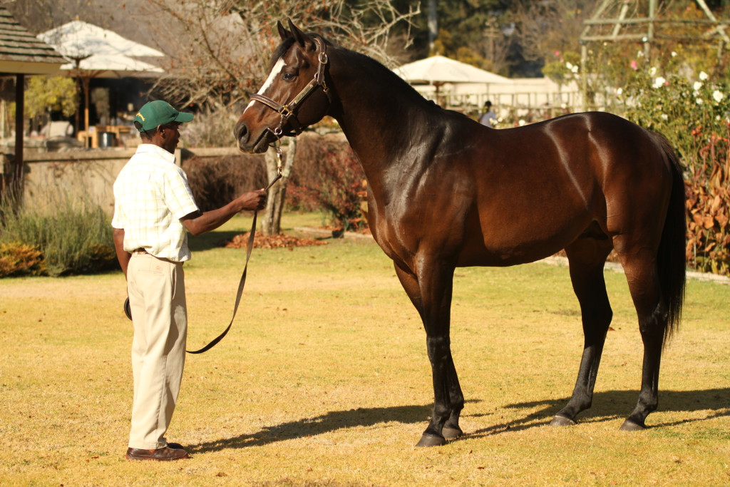 Capetown Noir. He will be  represented at the CTS Cape Premier Yearling Sale with two lots from Summerhill Stud - half-siblings to Love Struck and Royal Pleasure. Image: Candiese Marnewick