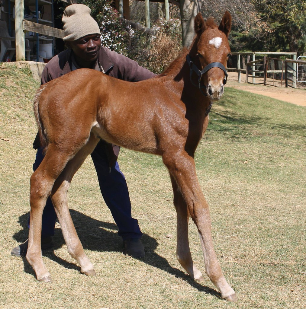 Devil's Peak as a foal at Hadlow Stud. Image: Cathy Martin