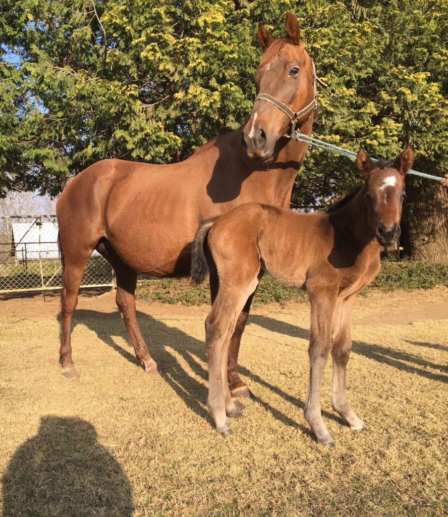 Tellittothestars with her new Mogok filly, born last night. This mating has produced 3 winners with seven victories between them all. The Mogok filly is a half-sister to Talktothestars. Image: Winnie Fourie