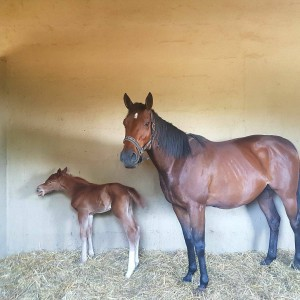 Debut and 2-time winner Lady Cougar welcomed her first foal last night, a beautiful big filly by Willow Magic, for Gill and Marius Mostert. Image: Gill Mostert