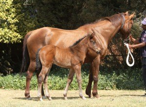 Tellittothestars by Spaceship, with her Mogok foal, a filly. This is the dam of Gr1 winner and Equus Champion Sprinter, Talktothestars. Tellittothestars has scanned in foal to Crusade this season. Image: Candiese Marnewick