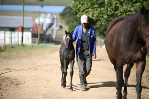 "Crusade foal ""Black Friday"""