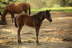 Foal by The Apache