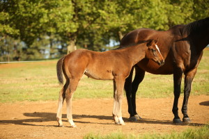 Noble Tune foal
