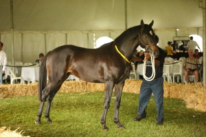 Wendy Whitehead purchased Lord Caro, an unraced 3yo full brother to 5-time winner Lord Paramount from Scott Bros for R40 000. Image: Candiese Marnewick