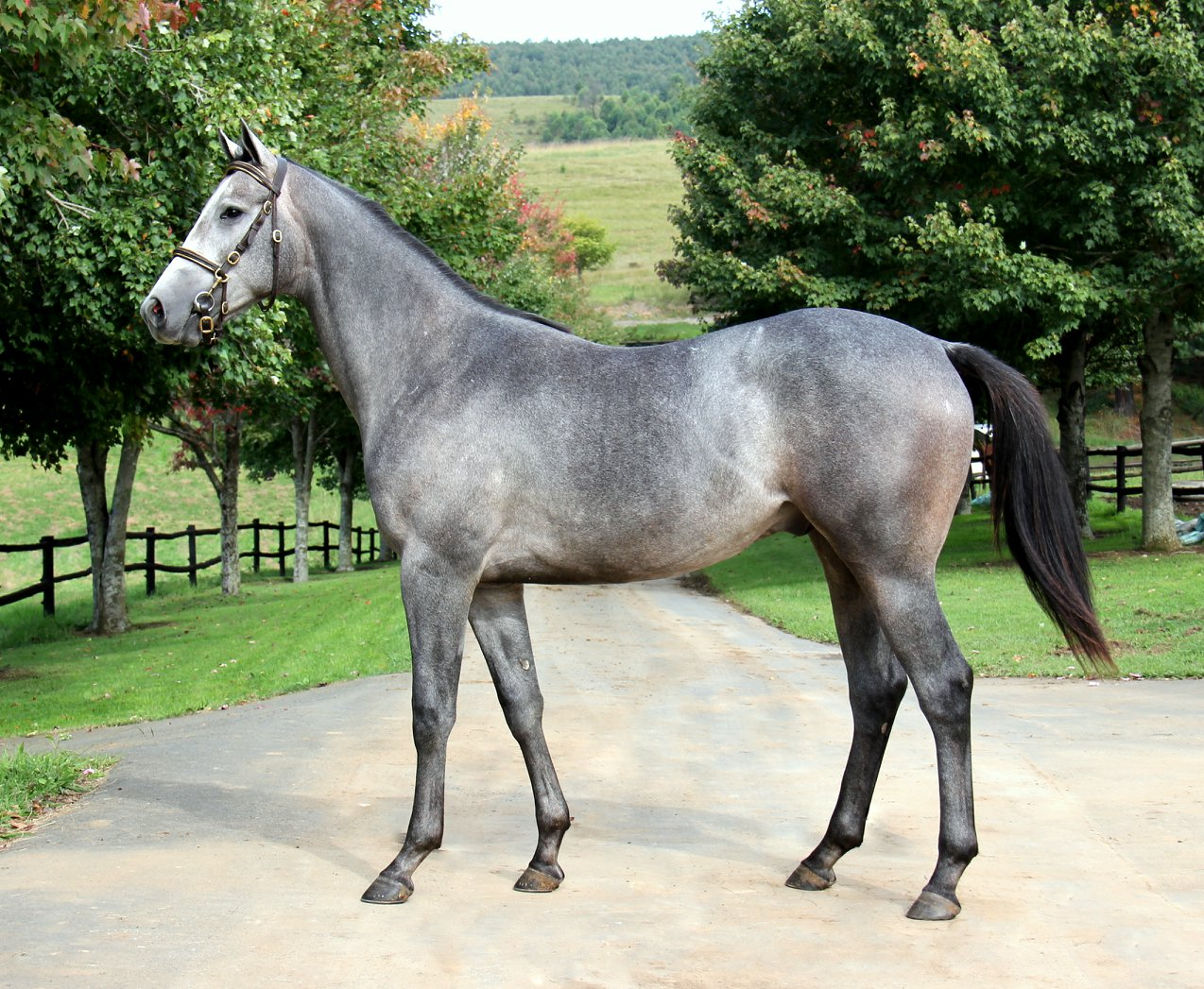 INDY GO (LOT 158) Captain Of All x Go Indigo by Indigo Magic. First foal of Gr2 winning dam.