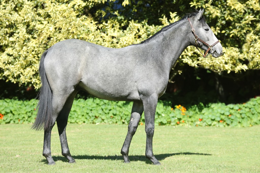 Lot 383 Grey Linngari Linngari - Corre Solta by Ski Champ  Half-brother multiple winners Black Pepper and Costa Da Sol.