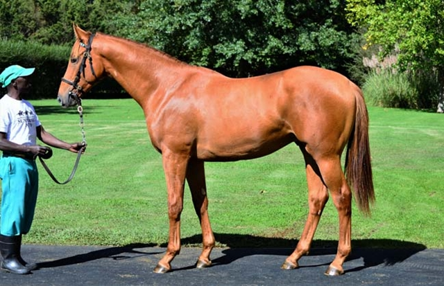 The outstanding Duke Of Marmalade half-brother to TAKINGTHEPEACE is on offer at the upcoming National Yearling Sale as Lot 467, named The Sandwich Man. Image: Summerhill Stud
