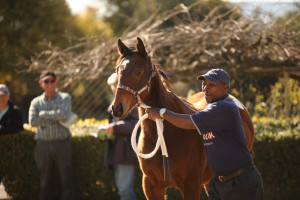 The weanling full sister to Matador Man sold for R125 000.