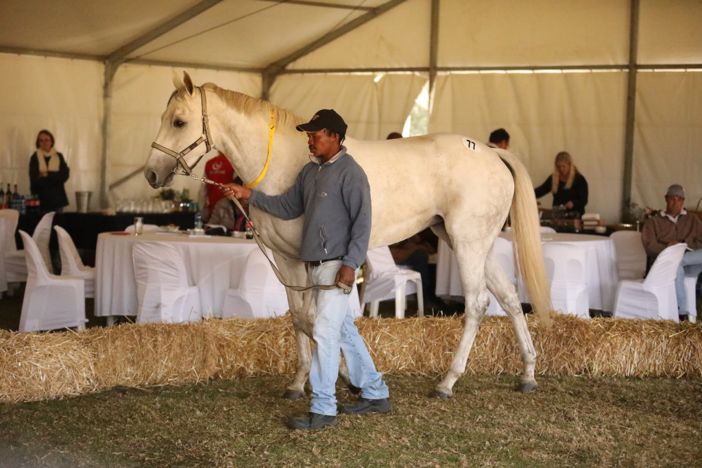 The elegant tall grey half-sister to No Worries sold for the sales topping price of R160 000. Image:  Candiese Marnewick