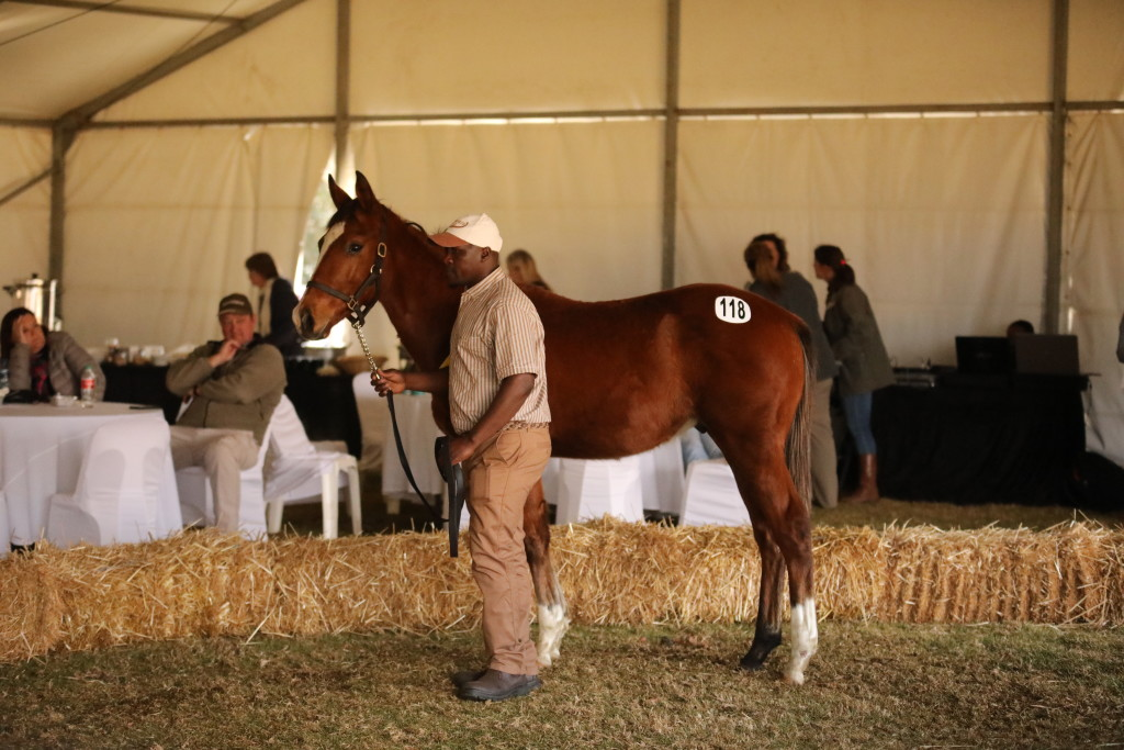 The sales topping weanling, Lot 118 by Oratorio sold for R45 000 to Piemonte Stud, consigned by Backworth. Image: Candiese Marnewick