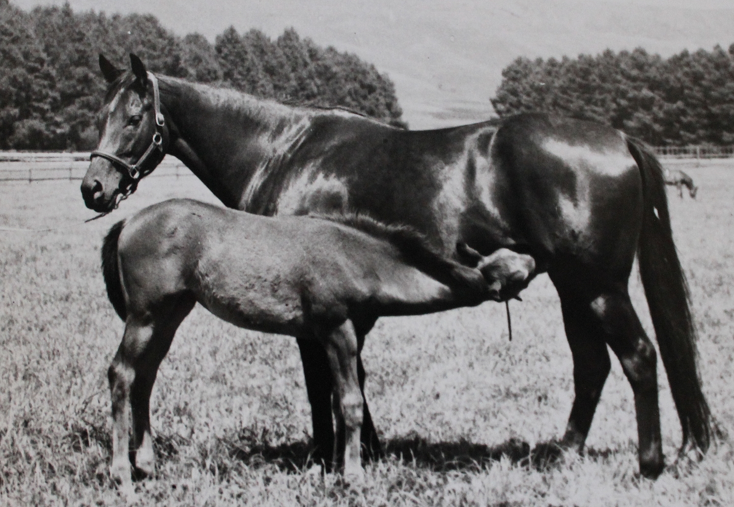 Lenore, with Leta as a foal - the ancestresses of The Apache at Highdown Stud five generations back. Image: Scott Bros