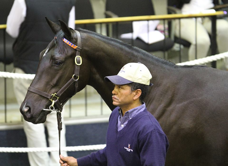 Beataboutthebush pictured at the National Yearling Sale, where she was purchased by Piemonte. She has done the Scribantes proud with 8 wins, 3 of them Listed. Image: Candiese Marnewick