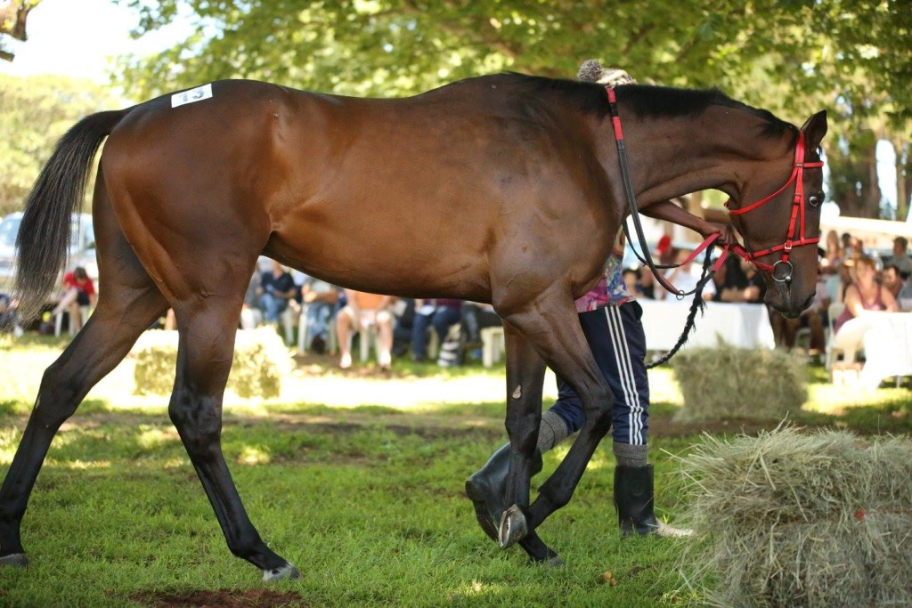 The Dazzler pictured at the Kilimanjaro Dispersal Sale. Image: Candiese Marnewick