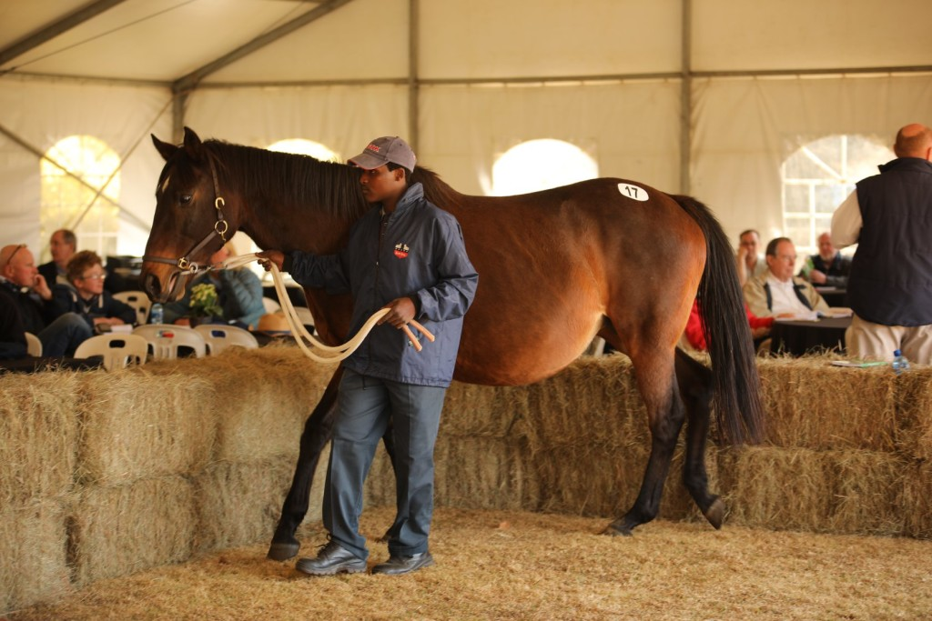 Sahara pictured at the Scott Bros Dispersal Sale where she sold for R170 000 in foal to Crusade. Image: Candiese Marnewick