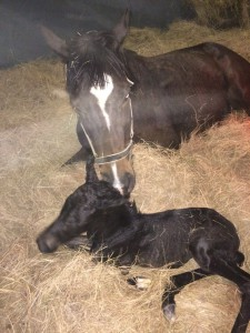 The Apache Full Sister Foals Crusade Filly