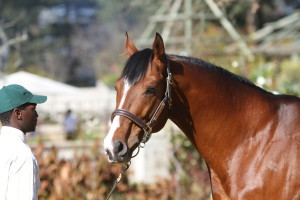 Act Of War First Yearlings On Offer At Cape Yearling Sale