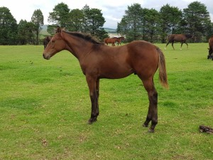 Flying The Flag Foals At Bush Hill Stud