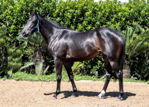 PIEMONTE STUD TO OFFER LARGE DRAFT AT 2YO SALE