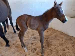 Clifton Stud Welcome Aptly Pedigreed Filly Born In The Snowfall